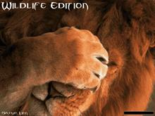 Lion Wildlife Edition
