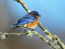 Eastern Blue Bird 2