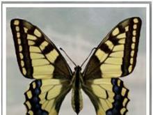 Papillion 2