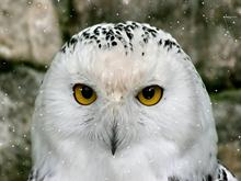 Snow Owl SS