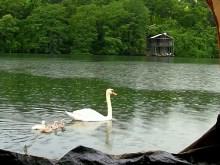 Rainy Swan Lake