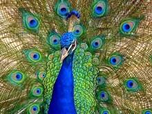 Peacock v2