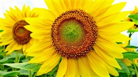 Sunflower 2 Logon