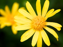 Coreopsis Nana