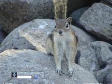 Golden Mantled Squirrel Curiosity