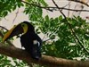 Jungle_Toucan